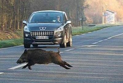 Torna il pericolo dei cinghiali sulle autostrade